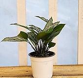 [용플라워] 공기정화식물 칼라데아 비타타|