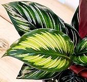 [용플라워] 매력적인 잎 뷰티스타(칼라데아)|