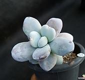 묵은 울리카테카바나|Pachyphytum Cuicatecanum
