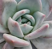 상아스페샬 대품 Echeveria ivory