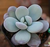 울리카테카바나|Pachyphytum Cuicatecanum