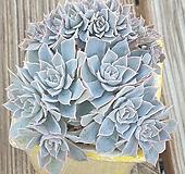 양로생얼/부분철화에서풀리고있어요.|Echeveria peacockii subsessilis