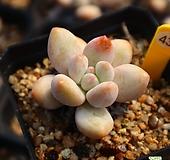 후레뉴 431026 Pachyphytum cv Frevel