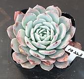 라피네( 묵은둥이) Echeveria Lapine