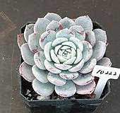 라피네 (묵은둥이) Echeveria Lapine