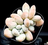 후레뉴 34-121 Pachyphytum cv Frevel