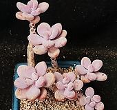 268.아메치스|Graptopetalum amethystinum