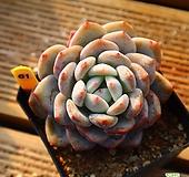 성영 811026|Echeveria elegans Potosina