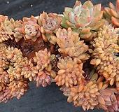 오렌지먼로철화군생한몸|Echeveria Monroe(Orange)