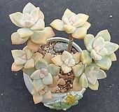 살구미인 자연군생 식물만|Graptoveria Titubans