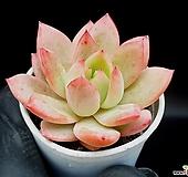 아메치스*코로라타 35-152|Echeveria colorata