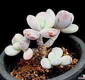 울리카테카바나 35-189|Pachyphytum Cuicatecanum