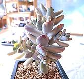 방울복랑금5565|Cotyledon orbiculata cv variegated