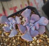 큐빅프로스티63|Echeveria pulvinata Frosty