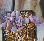 큐빅프로스티61|Echeveria pulvinata Frosty