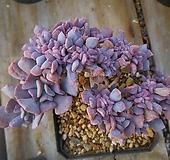큐빅프로스티철화62|Echeveria pulvinata Frosty