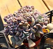 큐빅프로스티철화 541027|Echeveria pulvinata Frosty
