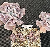 큐빅프로스티 369|Echeveria pulvinata Frosty