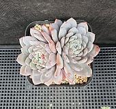 200. 묵둥이, 라피네 Echeveria Lapine