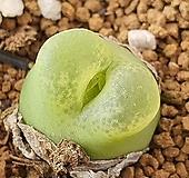 마우가니 110-1650|Conophytum maughanii