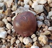 마우가니교배종|Conophytum maughanii