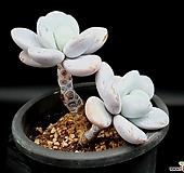 울리카테카바나 36-229|Pachyphytum Cuicatecanum
