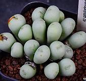 Conophytum cv 水滴玉(수적옥) 149|