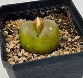 마우가니 sg114(201028)|Conophytum maughanii