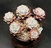 묵은 라피네-6두(10.28) Echeveria Lapine