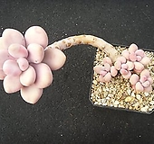 아메치스 1028|Graptopetalum amethystinum