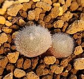 코노피튬 스테파니헬뮤티 군생|Conophytum