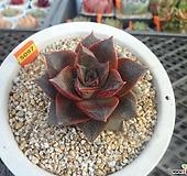홍대화금10-5097 Echeveria purpusorum