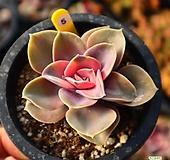 웨스트레인보우 051029 Echeveria rainbow