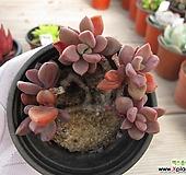 원종프리티   02995|Echeveria pulvinata Frosty