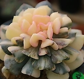 큐빅프로스티금1985|Echeveria pulvinata Frosty