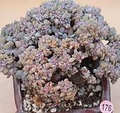 큐빅프로스티철화 묵은둥이|Echeveria pulvinata Frosty