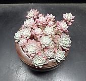 나나후크미니 20두|Echeveria nanahukumini