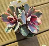 웨스트레인보우10-3031 Echeveria rainbow