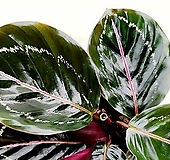 [용플라워] 칼라데아 로세오펙타 공기정화식물|