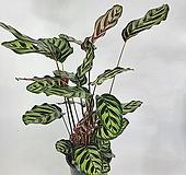 마꼬야나 칼라데아 공기정화식물 한빛농원|