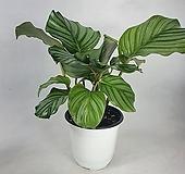오르비폴리아  칼라데아 공기정화식물 사진상품발송 한빛농원|