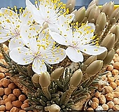알스토니수입씨앗10 립(+파종토소량분|Avonia quinaria ssp Alstonii