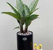 (싹쓰리식물원) 칼라데아비타타|