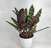 인시그니스 칼라데아 사진상품발송 공기정화식물 한빛농원|