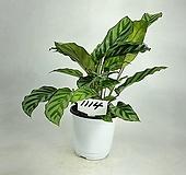 프레디 칼라데아 공기정화식물 사진상품발송 라벨-1114 수입식물 한빛농원|Echeveria setosa v. minor
