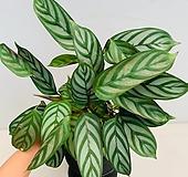칼라데아 세토사|Echeveria setosa v. minor