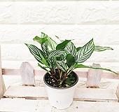 칼라데아 비타타 기도하는 식물 [하늘꽃농원]|