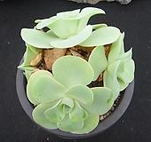 기간티아 1119 Greenovia diplocycla var.gigantea
