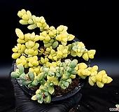 벽어연금 15-201|Corpuscularia lehmanni