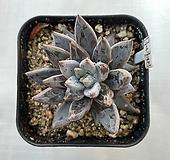 웅구아쿨라타|Echeveria unguiculata